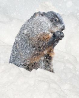 snowy-groundhog