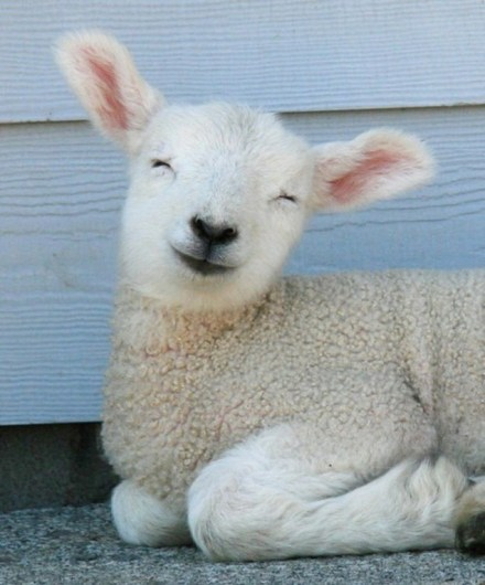 happy-lamb-is-happy